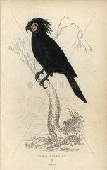 Black cockatoo  Psittacus aterimus