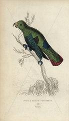 Purple tailed parrakeet  Psittacus porphyrurus