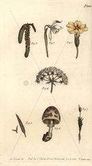 Calyx examples: primrose  snowdrop  hazel  hemlock  grass  mushroom  and moss.