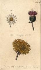 Compound flowers: daisy Bellis perennis  thistle Onopordum acanthium and dandelion Taraxacum.