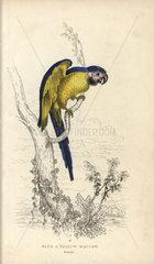 Blue and yellow maccaw  Psittacus ararauna