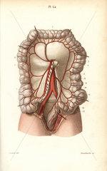 Circulatory system to the intestines