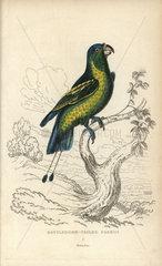 Battledore-tailed parrot  Psittacus discurus