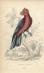 Roseate cockatoo  Cackatto rosea