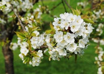 blooming arm of a cherry tree