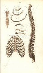 Spine  ribs  vertebrae and sternum