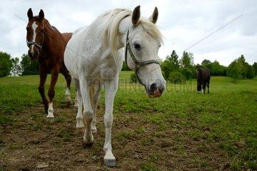 verschiedene Pferderassen auf der Weide