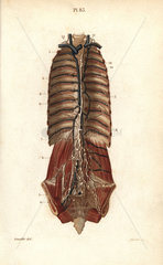 The thoracic canal