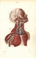 Lymph nodes and vessels in the head  neck and chest