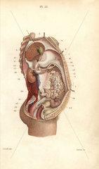 Section through the abdomen
