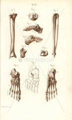 Leg  ankle and foot bones