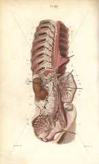 Sympathetic nervous system in the thoracic  lumbar and sacral plexus