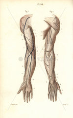 Nerves to the arm and hand