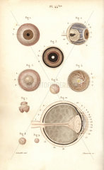 Sections of the eyeball and its membranes