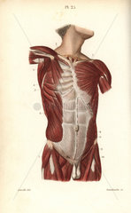 Muscles of the male torso
