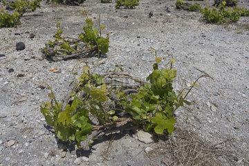 Detail of low grapevines  Santorini  Greece  Europe