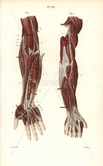 Deep nervous system to the arm and hand