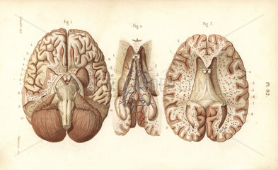 Sections through the brain and pineal gland