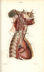 Sympathetic nervous system in the cardiac plexus