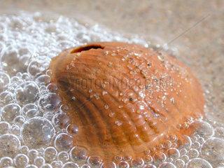 Muschel am Meer