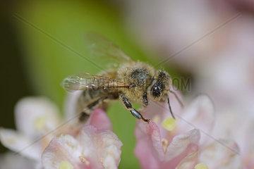 Honigbiene (Apis) sucht Nektar auf den Blueten einer Weigelie (Weigela  Weigelia)  Brandenburg  Deutschland  Europa