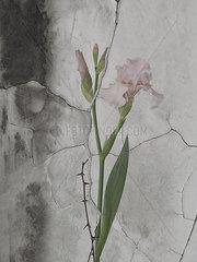 Schwertlilie auf Marmor