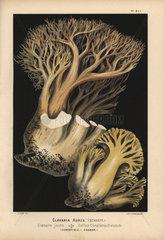 Golden coral fungus  Ramaria aurea  Clavaria aurea  clavaire jaune  edible.