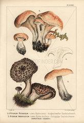 Hedgehog mushroom  Hydnum repandum  hydne sinue  and scaly hedgehog mushroom  Sarcodon imbricatus  Hydnum imbricatum  hydne ecailleux  edible.
