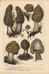 Morel mushrooms: Morchella lutescens  morille jaune  Morchella abietina  morille des sapins  edible.