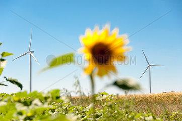Sonnenblume mit Windkarftanlagen