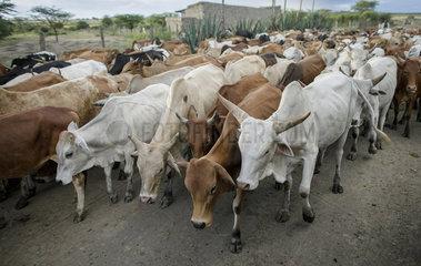 Rinderherde in Kenia
