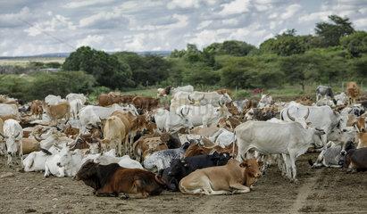 Nutztierhaltung in Kenia