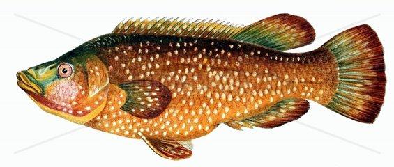 1 gefleckter Lippfisch