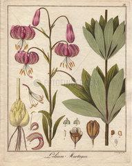 Turk's cap lily  Lilium martagon