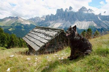 Hund auf einer Bergwiese