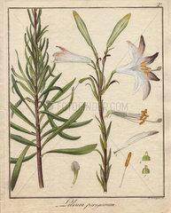 Madonna lily  Lilium peregrinum