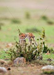 Junge Gepardengeschwister