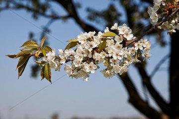 Einzelner bluehender Kirschbaum Zweig vor blauem Himmel
