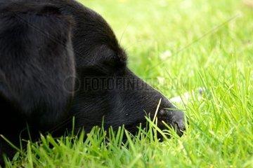seitliche Nahaufnahme von Hundekopf im Gras liegend