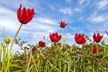 Zyprische Tulpe