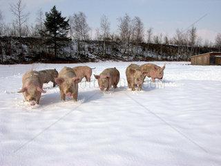 Schweine im Schnee