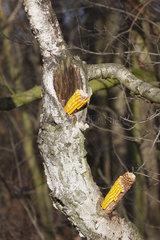 Maiskolbe und Baumloch