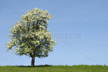 Blossoming tree in the spring