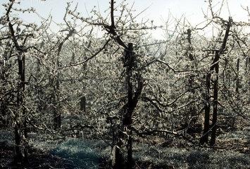 Obstanbau im Alten Land  Niederelbe - durch Wasserberieselung werden die Bluetenknospen im Eismantel vor dem Erfrieren geschuetzt.