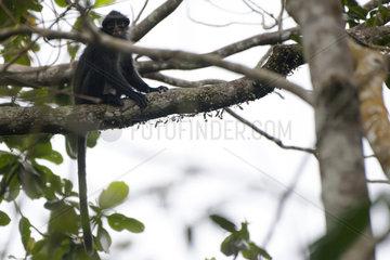 SINGAPORE-CENTRAL CATCHMENT NATURE RESERVE-RAFFLES' BANDED LANGUR