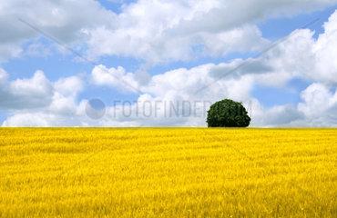 Getreidefeld mit Baum