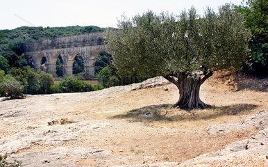 1000 Jahre alter Olivenbaum am Pont du Gard  Frankreich