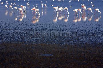 Flamingos in der Camargue