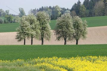 Rape field in the spring