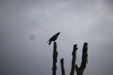 Kr_____he auf totem Baum